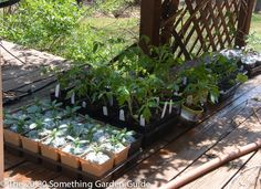 In the South, hardening off seedlings should take place in partial shade instead of full sun. | The 20-30 Something Garden Guide