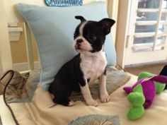 Annie our Boston terrier puppy is lovin her new home!