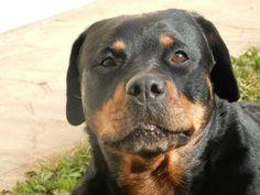 . Rottweiler Breed, Rottweiler Love, Rottweilers, Animal Games, Four Legged, All Dogs, Mans Best Friend, Cute Puppies, Fur Babies