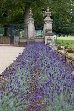 lavender on the portico at Althorp this summer on Twitpic