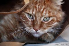 Con Gatto Cento - Facebook page: Galli Marco il fotografo dei gatti Web site: wwwilfotografodeigatti.it