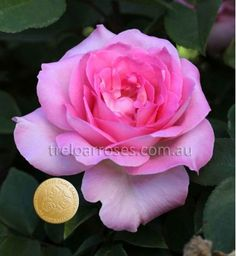 Perfume Passion (Potted)* :- The most celebrated rose of 2012 at the National Rose Trial Garden of Ausralia: A healthy high centred flower which is a perfect mix of interesting pink shades with a captivating aroma.