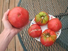 Common tomato diseases, problems, with natural solutions. Green shoulders, blight, worms, blossom end rot and more.