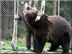 Juuso, a large brown bear from Finland, refuses to hibernate unless he is tucked in by his good friend Sulo the caretaker Bear Men, Amphibians, Reptiles, Animals And Pets, Wild Animals, Brown Bear, Picnic Table, Predator, Finland