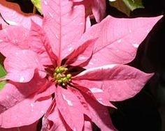 Holiday plant care basics