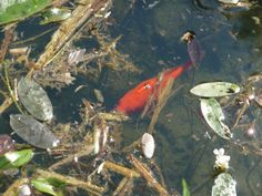 The fish are happy in the Lily Pond Bad Woerishofen, Bavaria