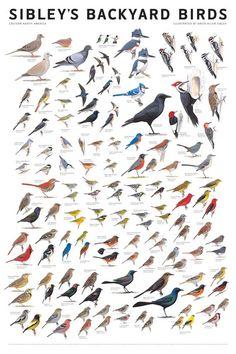 Sibley's Backyard Birds, Eastern North America, poster by David Allen Sibley Birds Of America, North America, North Dakota, North Carolina, Love Birds, Beautiful Birds, Bird Identification, Bird Poster, Birdwatching