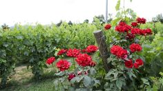 roses and vineyards. Umbria is the green heart of Italy