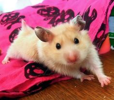 All about the Syrian hamster (a.a golden / teddy bear hamster), how to take care of them, plus lots of photos, tips and tricks. Hamster Pics, Hamster Care, Syrian Hamster, Hamster Stuff, Chinchillas, Funny Hamsters, Animals And Pets, Baby Animals, Rats
