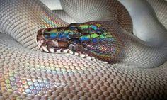 Black white lipped python