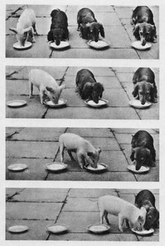 Very interesting post: TOP 56 Funny Pictures.сom lot of interesting things on Funny Pictures. Weekender, Funny Animals, Cute Animals, Funniest Animals, Weenie Dogs, Doggies, Cute Pigs, Dachshund Love, Funny Dachshund