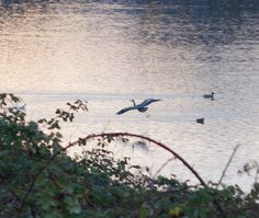 An Imperfect Image of a Great Blue Heron