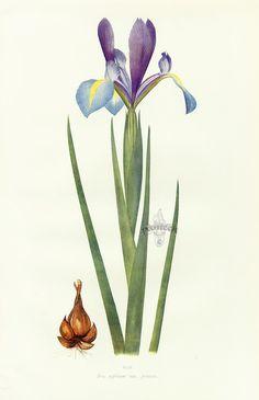 Iris xiphium