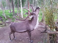 Photos of arctic animals, landscapes in Lapland Rovaniemi Summer Activities, Outdoor Activities, Artic Animals, Enjoy The Silence, Arctic Circle, Midnight Sun, Trekking, Northern Lights, The Incredibles