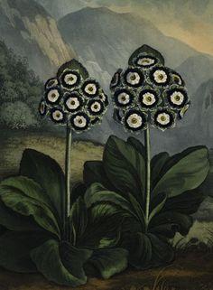 Auricula. From Robert John Thornton's Temple of Flora (London), 1799-1807.