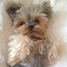 Lulubelle the Yorkie - Photo by naylette