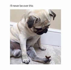 Adorable Pug with butterfly on his foot Pinterest @ Rian T