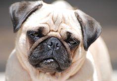Karmy dla psów ras małych