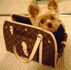 Louis Vuitton Dog Carrier! Yorkie...oh, how cute!