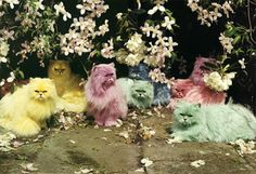 Tim Walker: a very different fashion photographer - in pictures. Pastel cats Eglingham Hall, Northumberland, England, 2000 Photograph: ©Tim Walker, Dreamscapes at The Bowes Museum Crazy Cat Lady, Crazy Cats, Weird Cats, Funny Cats, Funny Animals, Ciel Rose, Easter Cats, Happy Easter, Easter Bunny