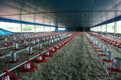 Galinha Caipira - equipamentos básicos para a atividade avícola #alcanceosucesso