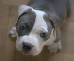 American pit bull terrier. Favorite breed for sure.