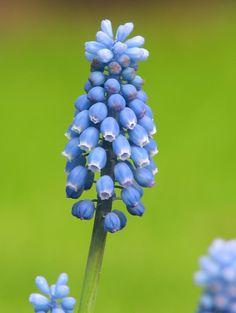 Grape Hyacinth 'Blue Magic' Muscari