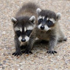 Raccoons so precious ~