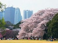 A Beginner's Guide to Cherry Blossom Viewing: Popular Hanami Spots