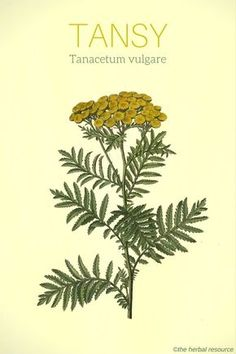 tansy herb Tanacetum vulgare