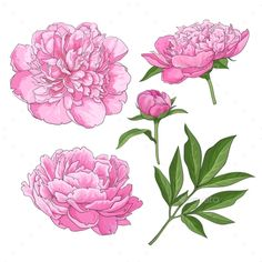 Set of peony flowers, bud, leaves, hand drawn sketch style vector illustration on white background. Realistic hand drawing of peon