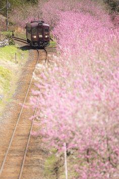 ✈ Watarase Keikoku Railway Watarase Keikoku Line, Gunma, Japan ✈ Go To Japan, Visit Japan, Cherry Blossom Japan, Cherry Blossoms, Trains, Japan Train, Gunma, Train Tracks, Adventure Is Out There