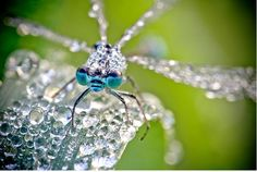 Macro Photographs of Dew-Covered Dragonflies and Other Insects by David Chambon | Colossal