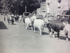 Part of the 4-H Club calf parade at the County 4-H Club show (Stark County, 1941)