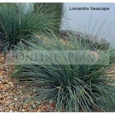 Buy Lomandra Seascape online from online plants Melbourne. Lomandra Seascape tussocks of blue grey foliage with a weeping habit.