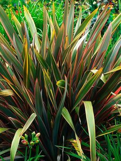 Phormium Sundowner Mature size: 6 feet tall and wide. Ideal growing conditions: full sun, well-drained soil