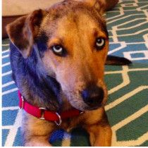 Natalie Waggaman lost Addy Near Coolidge St Boston, MA January 30th Pet name: Adelaide Gender: Female Primary breed: Mutt Secondary Breed: Catahoula Leopard Dog Age: 4 years, 11 months  Has microchip: Yes Is Approachable: Yes Is Vaccinated: Yes