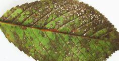 De ce rămân vișinii și cireșii fără frunze în mijlocul verii | Paradis Verde