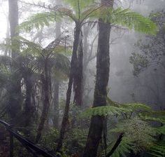 Cloud forest. Mount Kinabalu, Borneo.   Tree ferns in a cloud forest on Mount Kinabalu, Borneo.