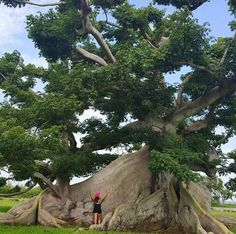 Majestic Tree 🌳 of Ceiba. Giant Tree, Big Tree, Tree Arborist, Cool Illusions, Magical Tree, Baobab Tree, Unique Trees, Old Trees, Tree Sculpture