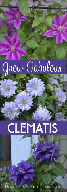 Growing clematis is easier than you think! Check out how to get long lasting…