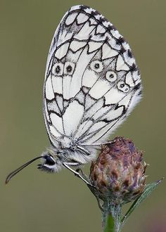 Marbled White Butterfly by Frank Derer