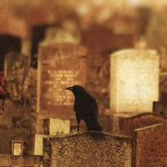 raven in cemetary