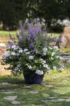 Meet angelonia, the summer snapdragon | Dallas Morning News.  AngelMist Purple in a container with white Aztec verbena
