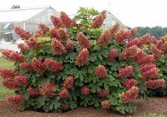 rośliny ozdobne - Hortensja dębolistna Amethyst (Hydrangea quercifolia Amethyst)