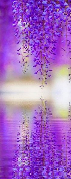Wisteria reflection ... I remember the first time I saw Wisteria in the parking lot at Buchart Gardens ... so pretty!