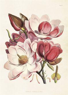 Skolplansch Magnolia rosa
