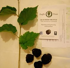 Grow your own truffle tree  via The Eden Projects and the GBITA