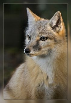 ~~Corsac Fox (Vulpes corsac) aka Steppe Fox by bzd1~~
