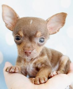 chocolate chihuahua puppy by teacupspuppies.com